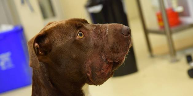 Prospects Improve For Pit Bull Whose Mouth Was Taped Shut