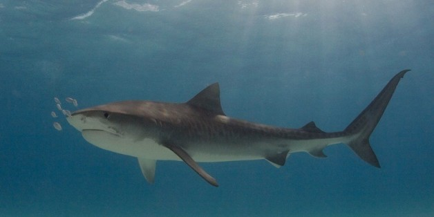 why sharks are attacking more people than ever in hawaii