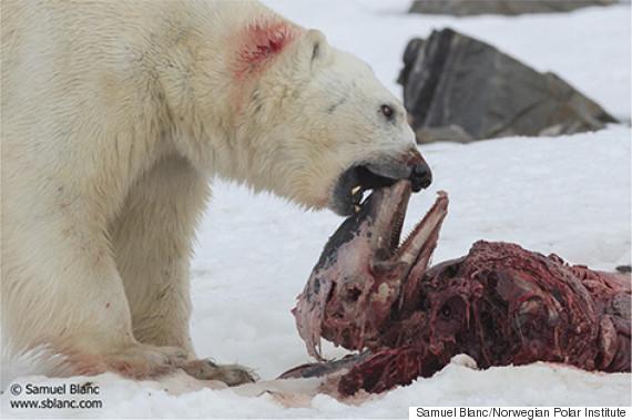 polar bear dolphin