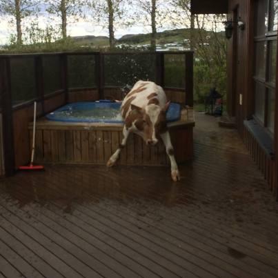 vaca na hidromassagem