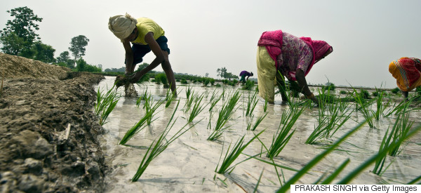 indian farmer sowing
