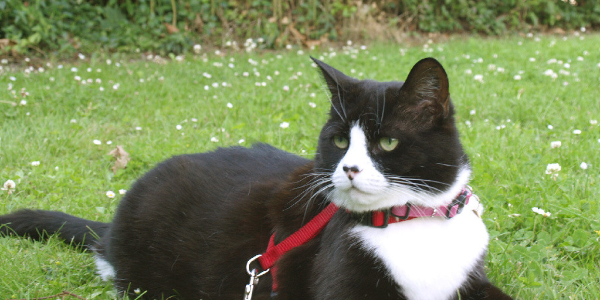 how to walk your cat on a leash and why you should huffpost