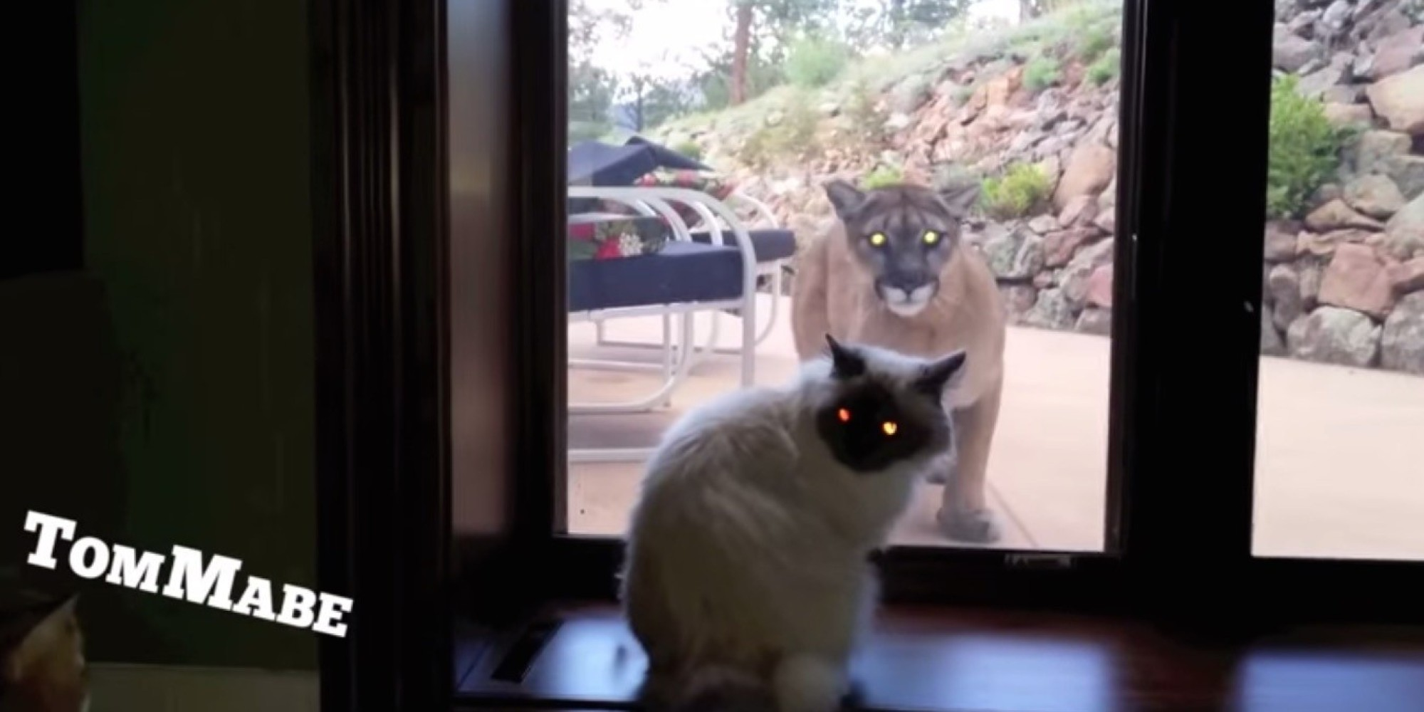 House Cat Is So Not Impressed By Mountain Lion At The Door
