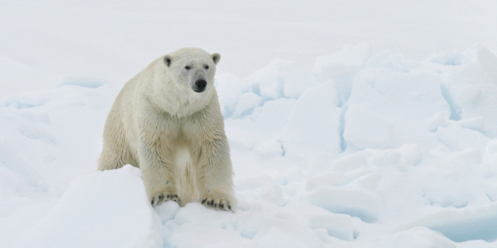 essays on global warming and polar bears Of 20 distinct polar bear populations polar bears and global warming [ if you wish to make a comment on this essay go to the blog entry.