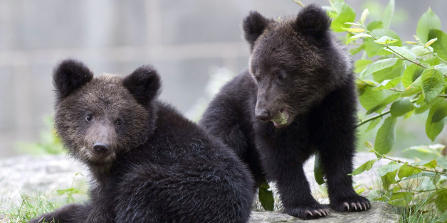 Two Siberian bear cubs Mischa and Mascha, seen, at the zoo, in Bern, Switzerland, Tuesday, Sept. 22, 2009. (AP Photo/Keystone, Marcel Bieri)