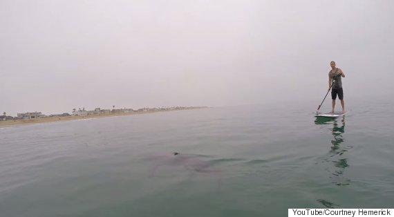 shark paddleboarders