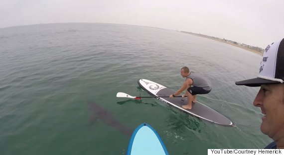 paddleboarders sharks