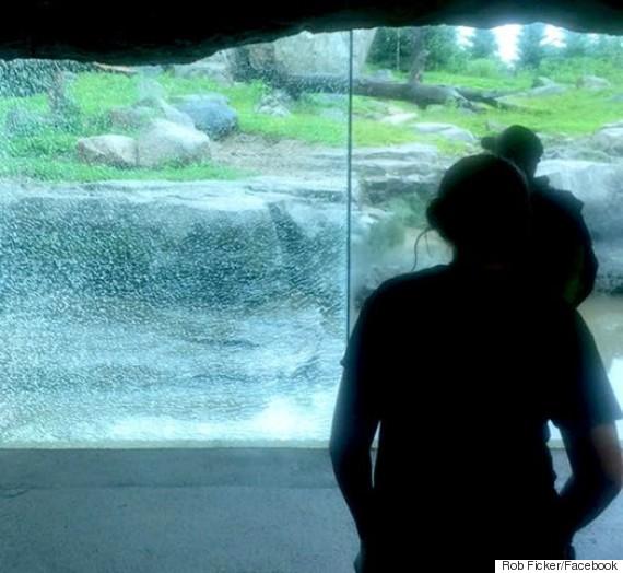 bear smashes wall zoo