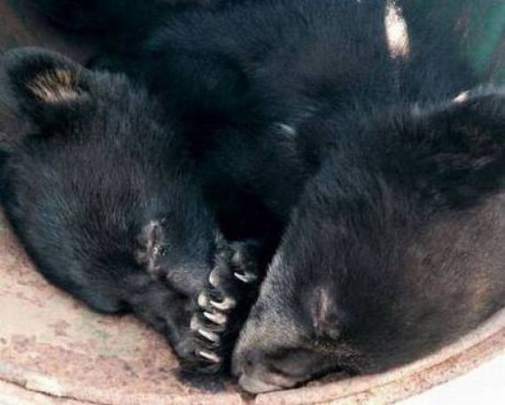 orphaned black bear cubs