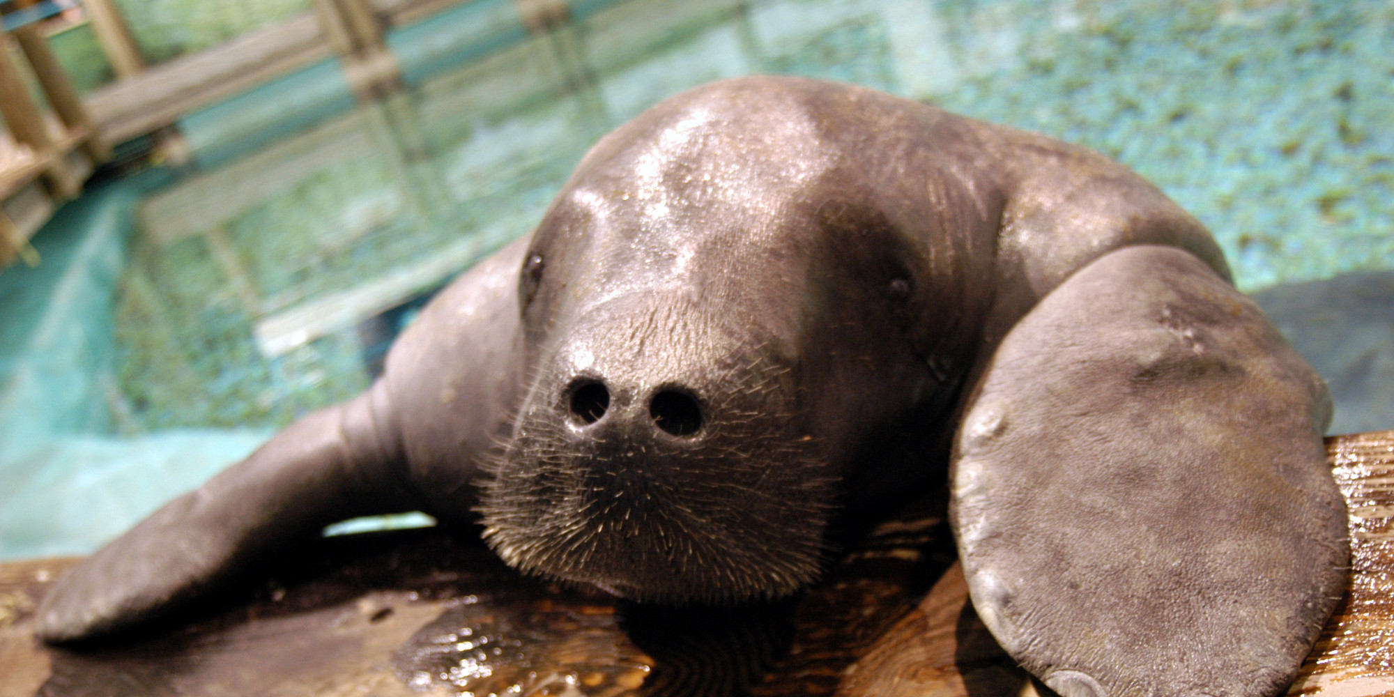 a very important manatee just got inducted into the guinness book