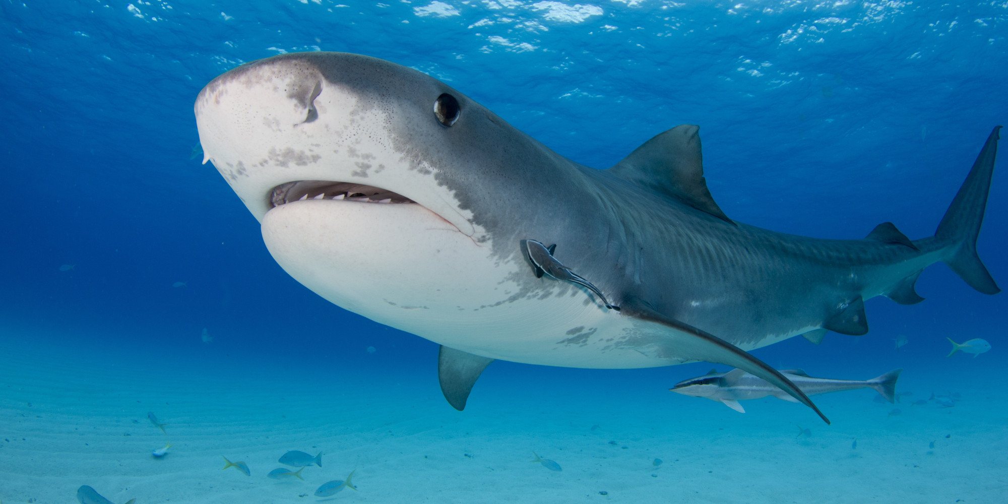 Images Of Sharks The Pros And Co...
