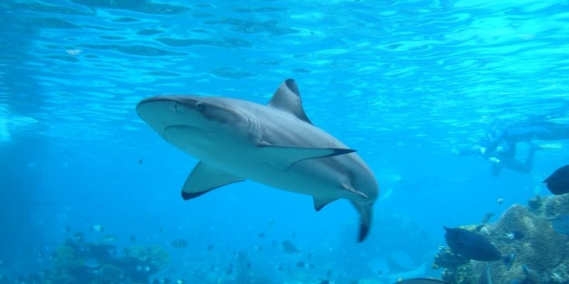The magnificent Shark's Cove attraction at Sea World on Australia's Gold Coast gets you up close and personal to the top of the food chain