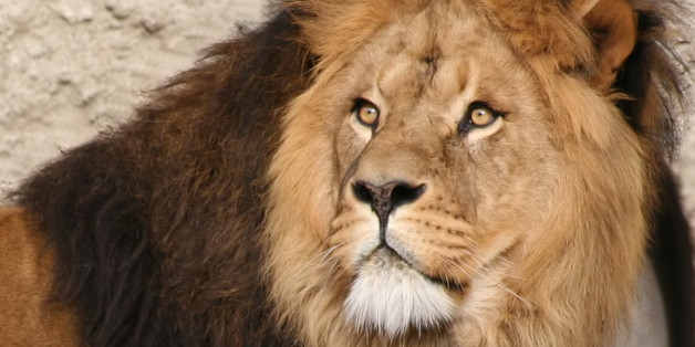 "This image is in the public domain. Learn more about the lions of the world here: <a href=""http://www.felinest.com/felidae-family-lions/"" rel=""nofollow"">Meet the Felidae Family - Lions</a>."