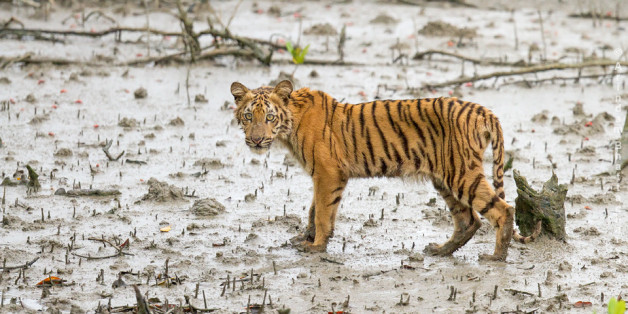 """I have been travelling in the Indian National parks for the past 5/6 yrs and photographed many tigers during this period. Every place, wherever I go people used to ask me whether I have seen Sundarban's tiger. And my simple answer was """"Not Yet"""".Like every wildlife lover I am also dreaming to see a glimpse of Bengal tiger in Sunderban (forget about photography) and due to this thrust I have been travelling in the mangroves for the past couple of yrs, though I know it is pure a matter of"""