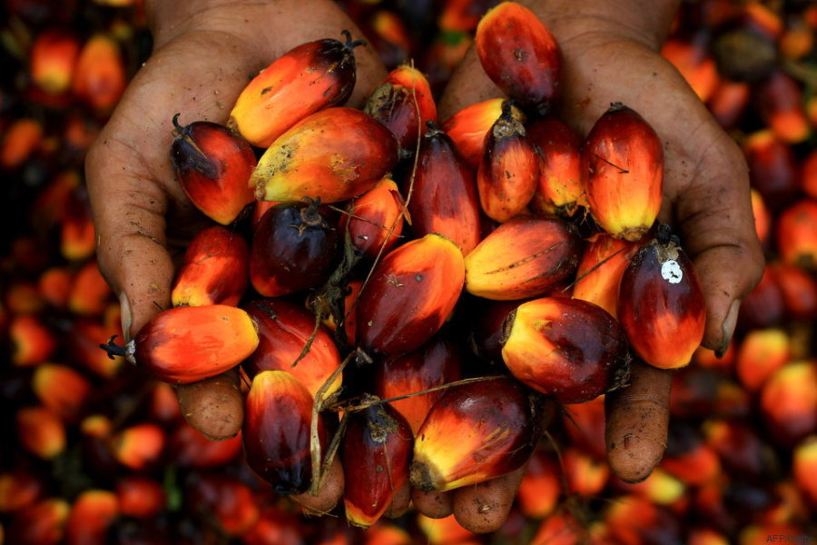 a worker holds a handful of palm oil seeds