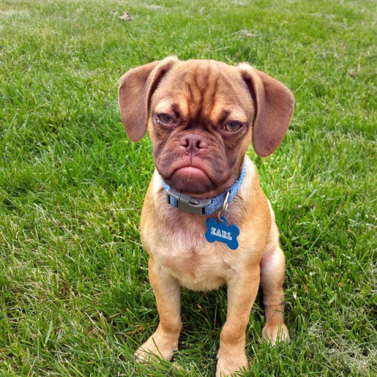 earl the grumpy dog puppy