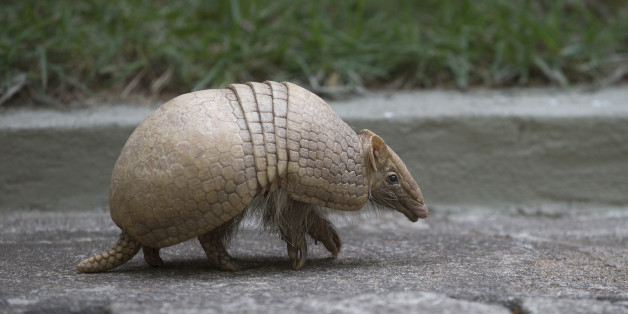 An armadillo, named Ana Botafogo in honor of the Brazilian dancer, walks in the Rio Zoo in Rio de Janeiro, Brazil, Wednesday, May 21, 2014. A Brazilian environmental group has launched an effort to save the endangered three-banded armadillo, the mascot for the World Cup that starts next month. The armadillo is in danger of extinction, largely because of deforestation and hunting in its habitat in the shrub lands of northeastern Brazil, according to the Caatinga Association.  (AP Photo/Silvia Izq