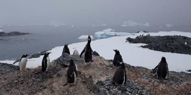 In this Jan. 22, 2015 photo, gentoo penguins stand on a rock near station Bernardo O'Higgins, Antarctica. The melting of Antarctic glaciers as a consequence of global warming is concerning scientists as this contributes to rising sea levels which will eventually reshape the planet. The rising of sea levels will affects at least a billion people worldwide. (AP Photo/Natacha Pisarenko)