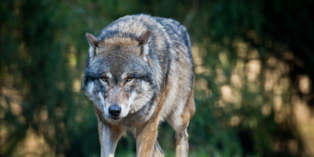 5 Fakten über Wölfe: So gefährlich sind sie wirklich für uns