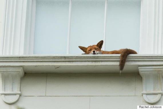 notting hill fox