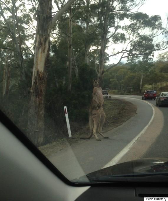 kangaroo muscled