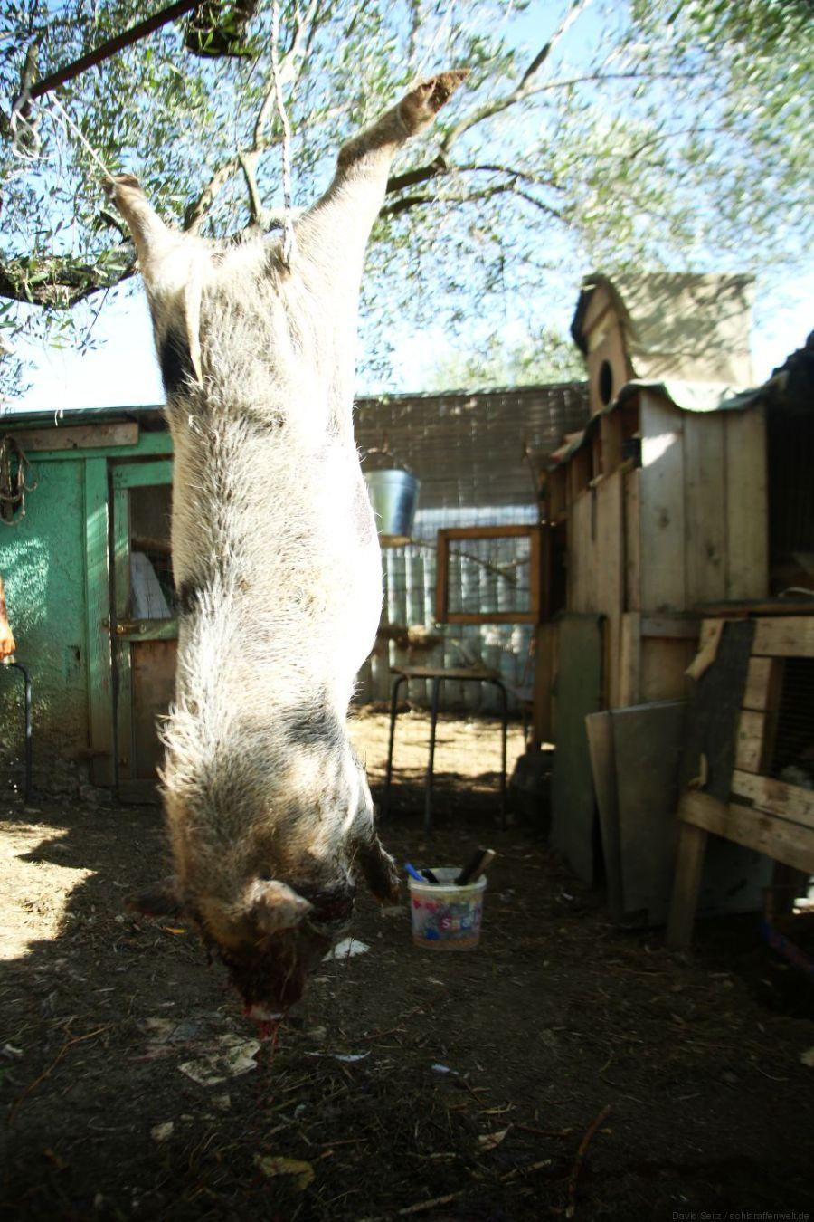 schweinchen kopfueber