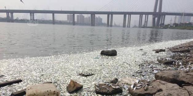 Explosion à Tianjin: des milliers de poissons morts à la surface du fleuve qui traverse la ville