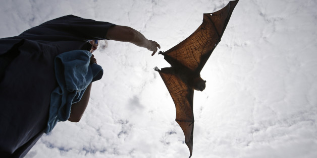 AP10thingsToSee - A caretaker releases a grey-headed flying fox in Centennial Park in Sydney, Australia  Wednesday, Feb. 5, 2014. Each year thousands of creatures are rescued by volunteers when anti-bird netting thrown loosely over fruit trees entangles birds, bats, and reptiles. The bat is classified as vulnerable to extinction by the New South Wales Department of Environment & Heritage. (AP Photo/Rob Griffith, File)