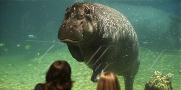 """People watch as a hippopotamus, named Genny, looks back at them at Adventure Aquarium, Thursday, May 29, 2014, in Camden, N.J. New Jersey's Adventure Aquarium has a new home for its two Nile hippopotamuses, Genny is 4,000 pounds and Button is 3,000 pounds. They now live in a hippopotamus exhibit, """"Hippo Haven."""" The aquarium spent more than $1 million to renovate the hippos' home. (AP Photo/Mel Evans)"""