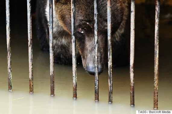 russia bears