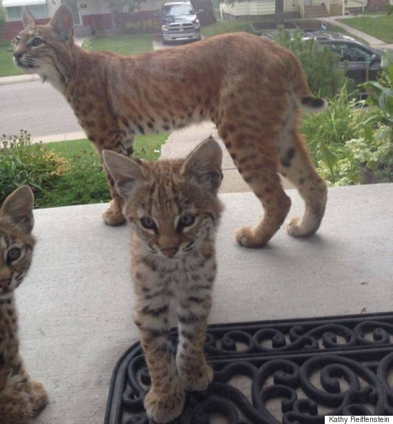 calgary bobcats