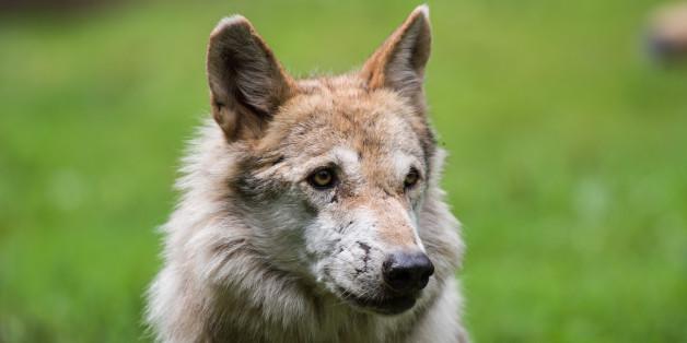 """""""Alte und Kinder bedroht"""" - Wölfe werden zur Gefahr in Deutschland"""