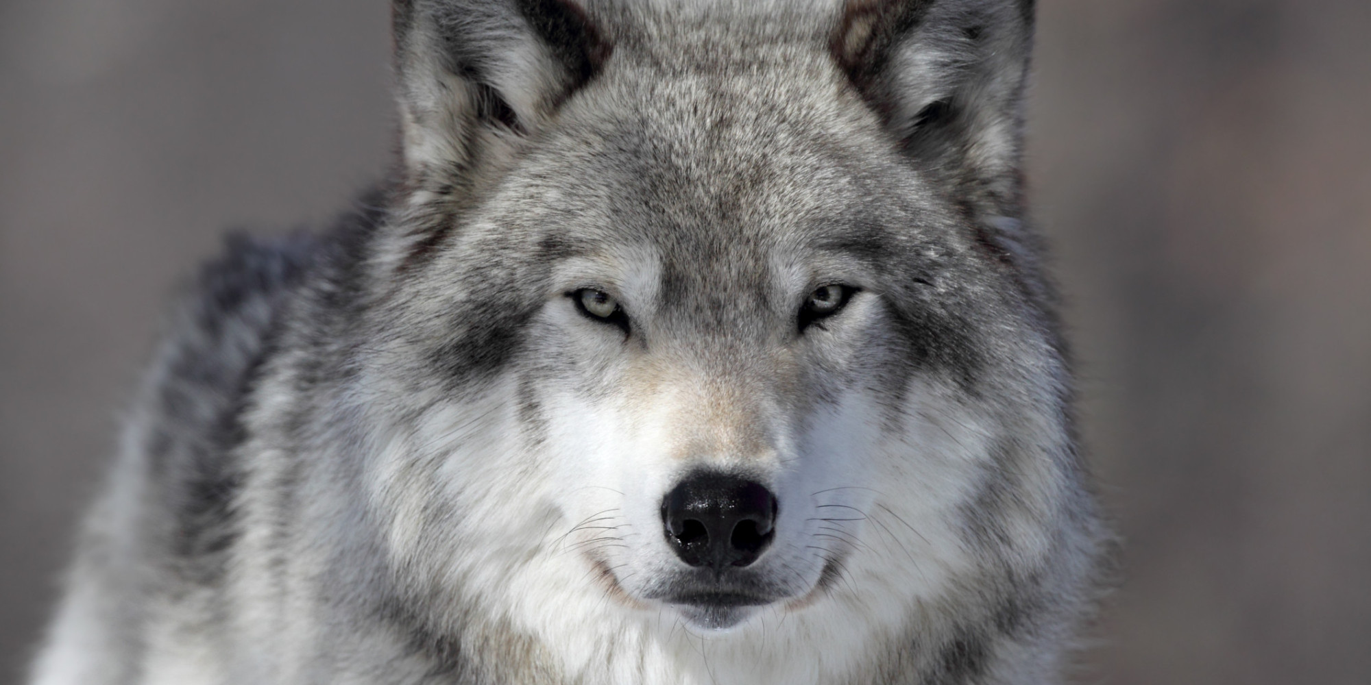 Oregon Retreats From Wolf Protection, As Possible Setup