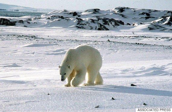 svalbaard bear