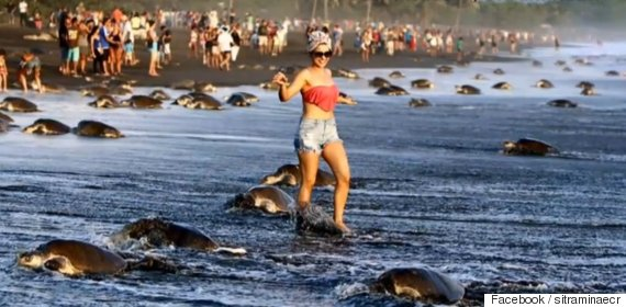 tourists interrupt turtle reproduction season