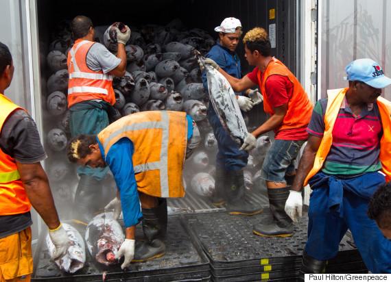 fishermen stack dead tuna in freezer in pacific oc
