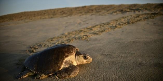 Une tortue de mer (Lepidochelys olivacea) arrive pour pondre à l'aube sur la plage de Morro de Ayuta, dans l'Etat mexicain de Oaxaca, le 11 septembre 2015