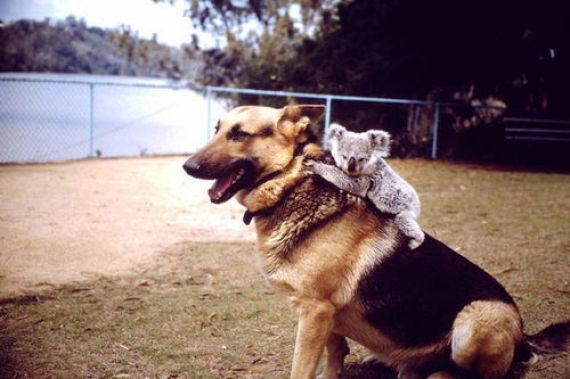 koala dog