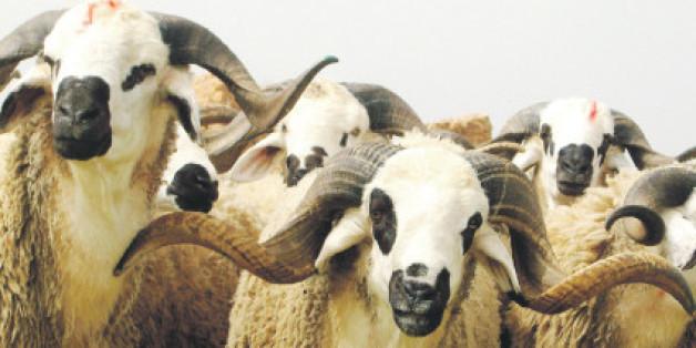 Aid al Adha: Les moutons se vendent aussi sur internet