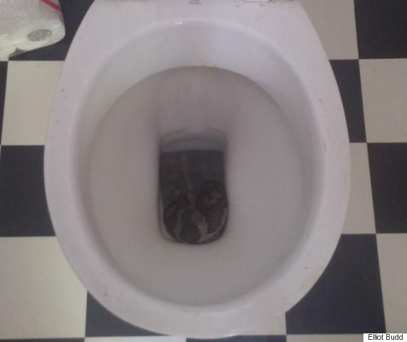 snake in toilet python elliot budd