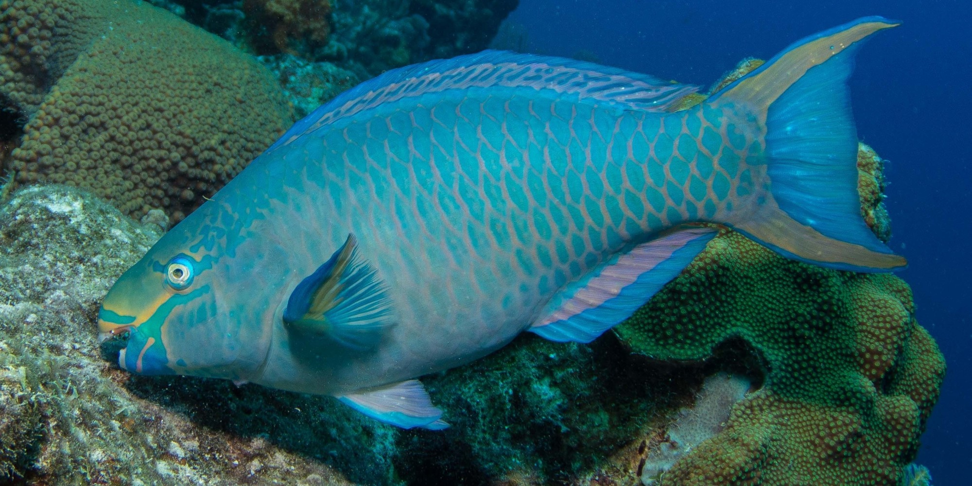 how to make parrot fish