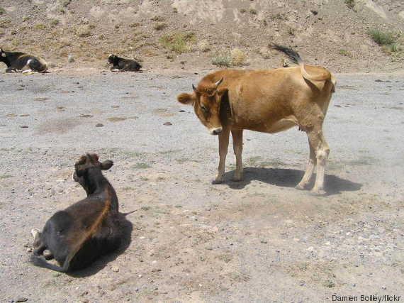 vaches djurdjura