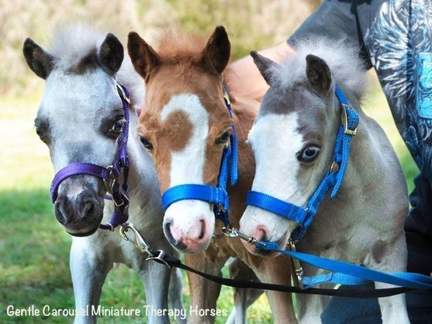 photos des chevaux miniatures au service des patients le huffington post. Black Bedroom Furniture Sets. Home Design Ideas