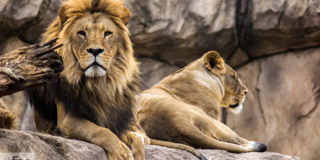 A lion and his lioness resting in Dresden zoo, in Germany.
