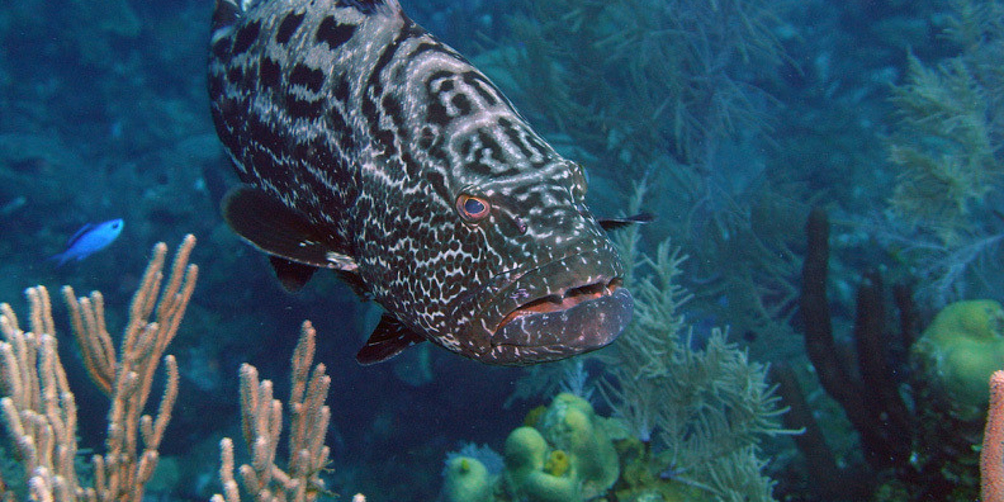 Nassau Grouper A Beautiful Fish at Risk