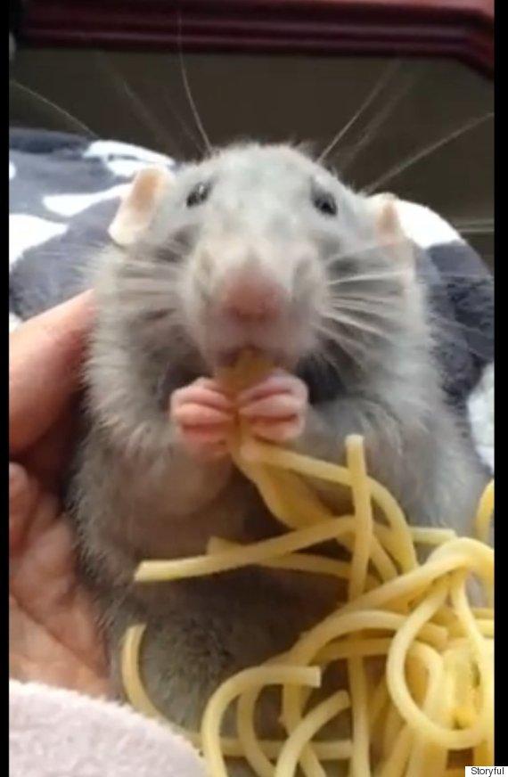 spagetti rat