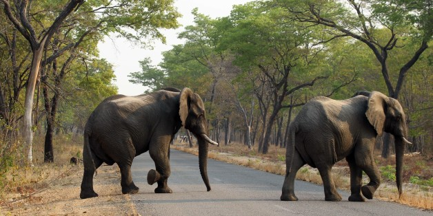 In this photo taken on Thursday, Oct. 1, 2015, elephants cross the road in Hwange National Park, about 700 kilometres south west of Harare. Fourteen elephants were poisoned by cyanide in Zimbabwe in three separate incidents, two years after poachers killed more than 200 elephants by poisoning, Zimbabwe's National Parks and Wildlife Management Authority said Tuesday, Oct. 6, 2015. (AP Photo/Tsvangirayi Mukwazhi)