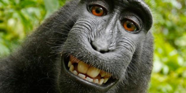 """""""Narutos"""" Affen-Selfie ging um die Welt - der Makake hat jedoch kein Copyright"""