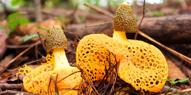 Phallus indusiatus gehört zur Familie der Stinkhorn Mushrooms.