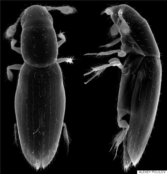 featherwing beetle